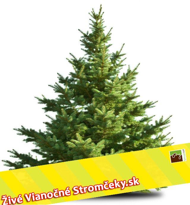 8c91b1475177f Živý vianočný stromček - Normandská Jedľa A-Kategórie výška 150 - 175cm